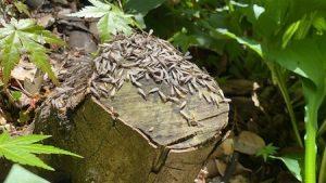 切り株に集まる羽アリ
